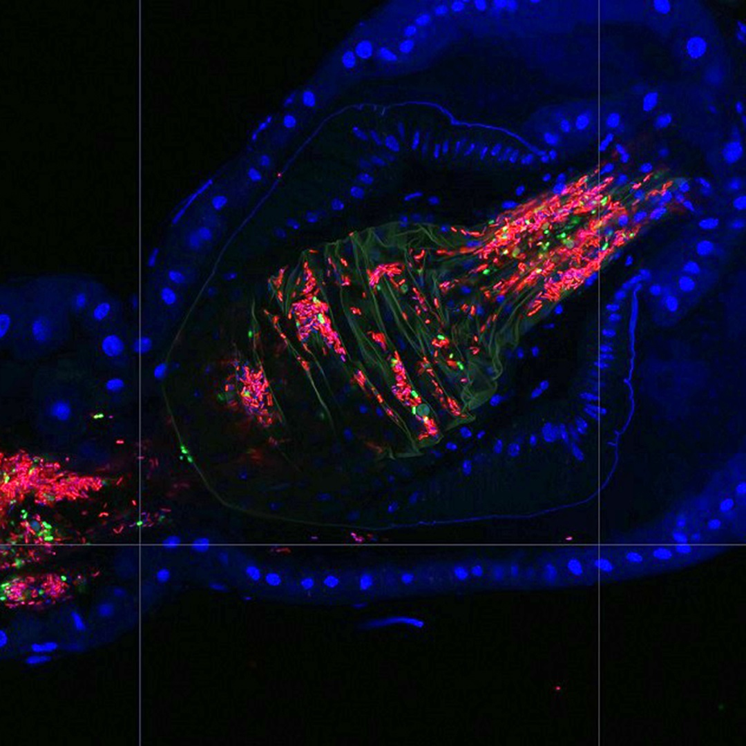 Super-resolution image of fly gut crypts colonized by the native Lactobacillus (red) and Acetobacter (green) bacteria. Fly cell nuclei appear blue. Image is courtesy of Benjamin Obadia.