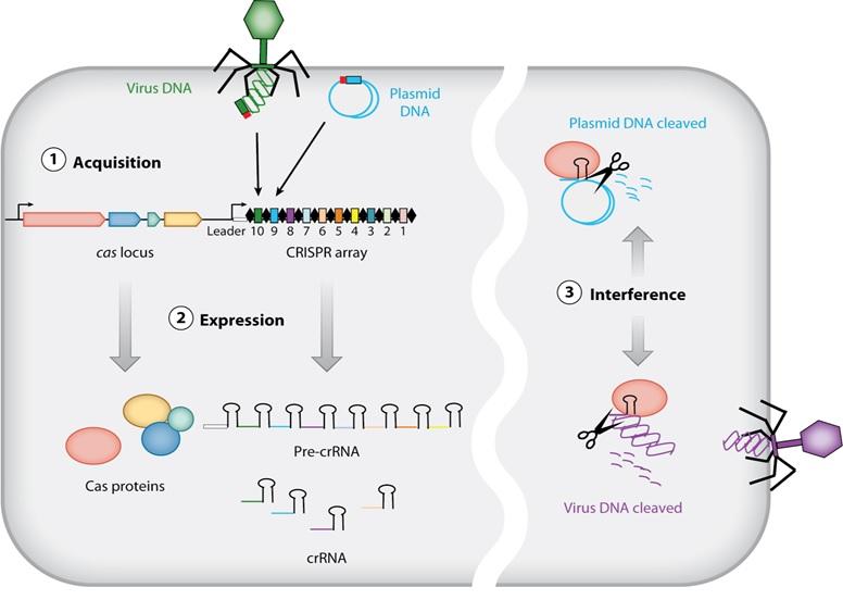 Carnegie Science, Carnegie Institution, CRISPR, CRISPR/Cas, CRISPR/Cas9, Devaki Bhaya