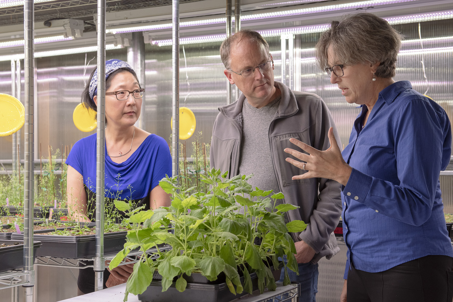 Sue Rhee, Thomas Clandinin and Miriam B. Goodman discuss the NeuroPlant project over a tobacco plant in the greenhouse. (Image credit: L.A. Cicero)