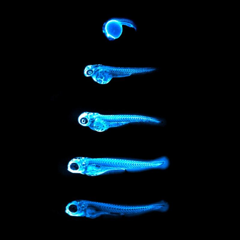 This image captures the bright blue light (chemiluminescence) emitted by the NanoLuc protein in LipoGlo zebrafish. By attaching this glowing enzyme to bad-cholesterol particles, researchers are able to visualize how much cholesterol is present in each fish, and where in the body it resides. The top image shows a zebrafish embryo 24 hours into development, with many cholesterol particles emanating from its large spherical yolk. Subsequent images were taken every 24 hours, showing that cholesterol levels peak between three and four days of age in zebrafish embryos. The image is provided courtesy of James Thierer and Ed Hirschmugl.