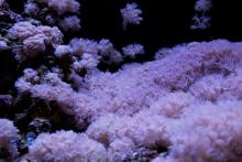 Xenia in Carnegie's coral facility, courtesy Carnegie Embryology