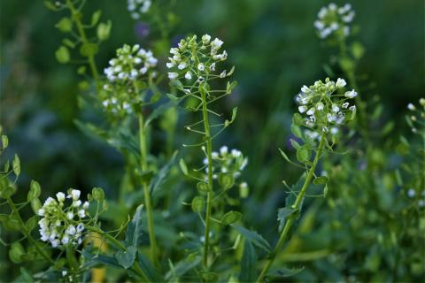 Pennycress