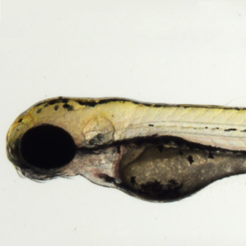 Experimental zebrafish larvae, courtesy Navid Marvi.