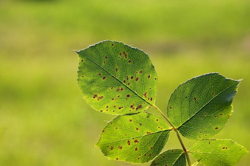 Rose rust on plant leaves. Image purchased from Shutterstock.
