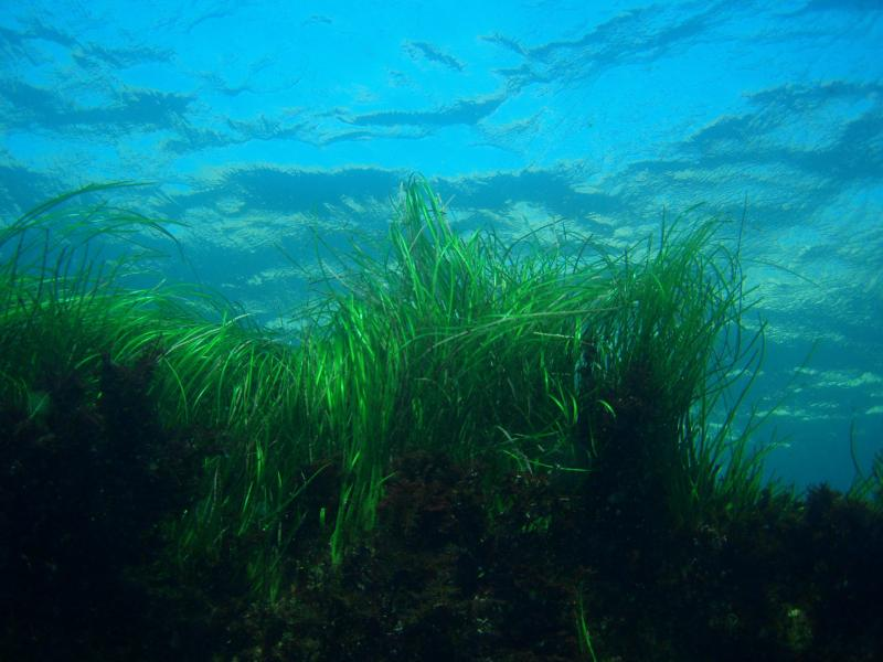 Seagrass. California, Channel Islands NMS. Claire Fackler, CINMS, NOAA.