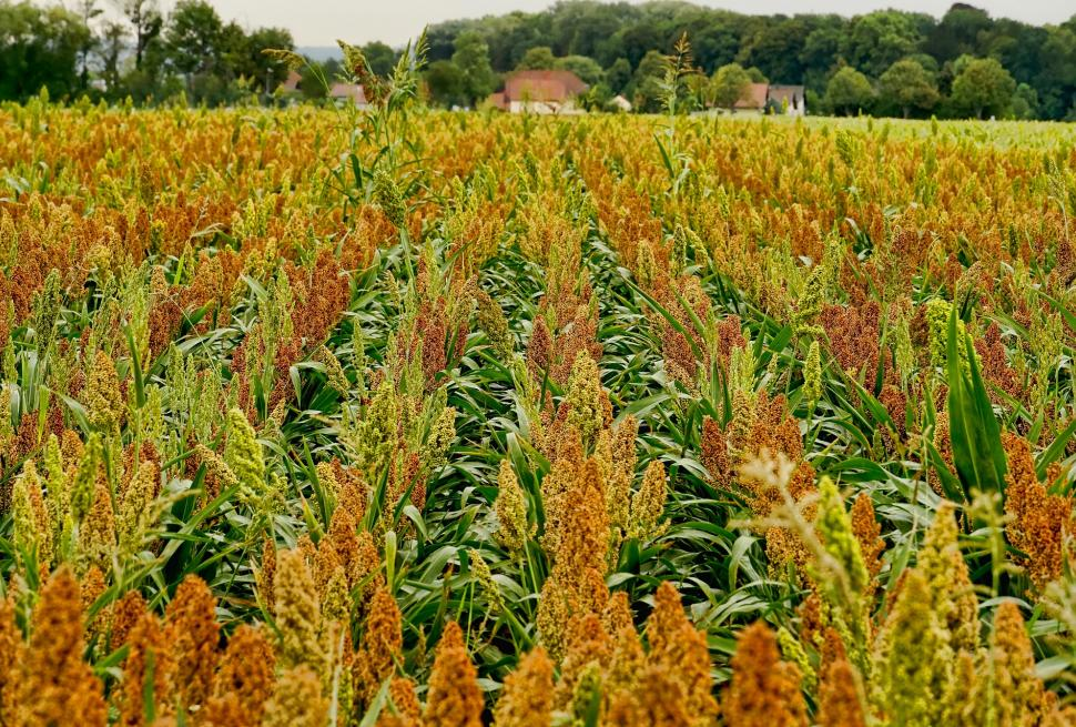 Public domain image of a field of sorghum.