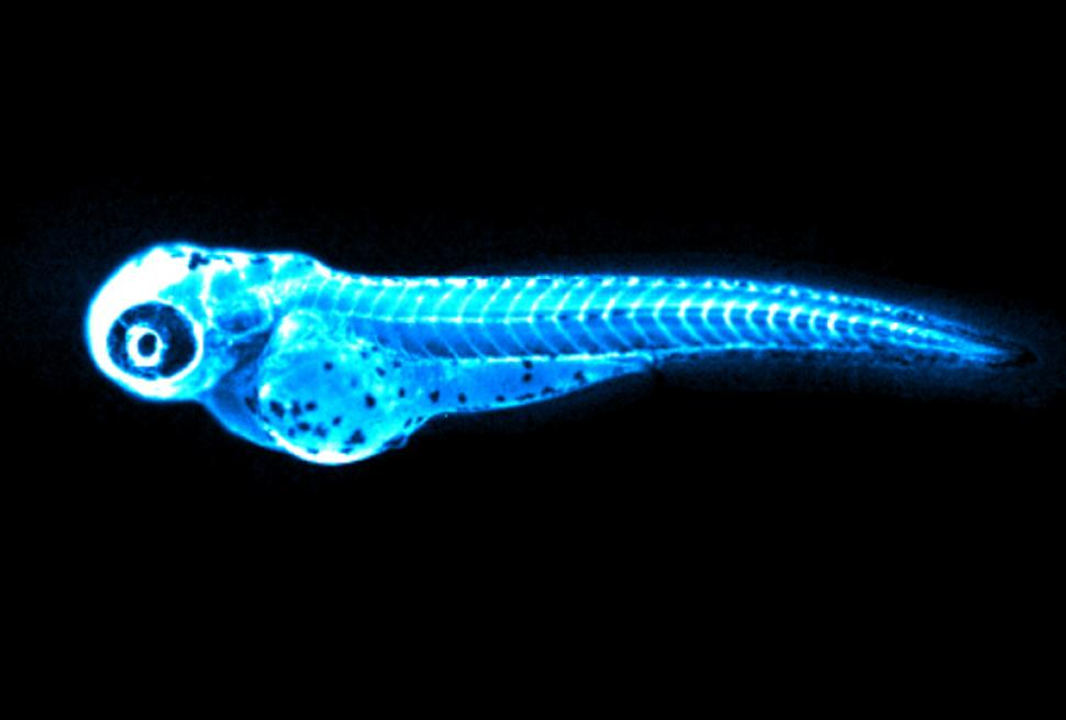 This image captures the bright blue light (chemiluminesc ence) emitted by the NanoLuc protein in LipoGlo zebrafish. It is is provided courtesy of James Thierer.