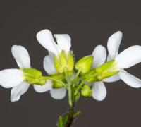 Photo of flowering Arabidopsis thaliana purchased from Shutterstock.