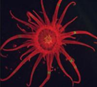 A bright field image of the anemone Aiptasia populated with its symbiotic algae.