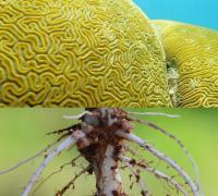 Coral and legume roots. New staff scientists study symbiosis in these systems.